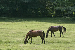Two Horses Eating Grass Royalty Free Stock Image