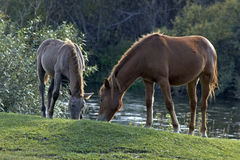 Two horses eating grass. Two horses graze in meadow, in the open air. Mare and foal stock photos
