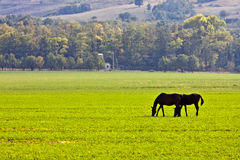 Two horses eating grass Stock Photo