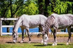 Two Horses eating grass stock photography