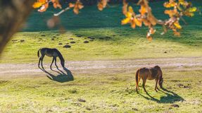 Two horses eating green grass near a road close to a forest. Autumn forest trees. nature green wood  backgrounds beautiful horses eating grass Royalty Free Stock Images