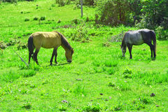 Two horses eating. Two horses in green pasture Stock Photo