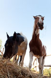 Two horses eating hay. Two horses eating hay neighbors Stock Photo