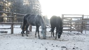 Two horses are eating behind the fence. Two horses are eating hay behind the fence stock video footage