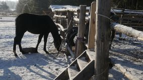 Horses is eating the hay. Two horses is eating the hay by the fence stock video footage