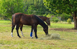 Two horses eating hay in meadow Stock Images