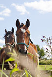 Two horses eating Royalty Free Stock Images