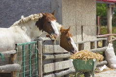 Two horses eating Stock Photo
