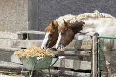 Two horses eating Royalty Free Stock Photo