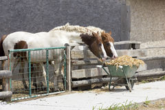 Two horses eating Royalty Free Stock Image