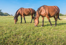 Two horses eating together Stock Images