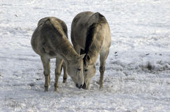 Two horses eating together in snow. Two cute horses eating something together in snow Stock Photo