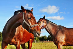 Two horses in enclosure Stock Images