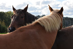 Two horses expressing familiarity Royalty Free Stock Image