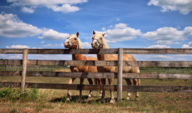 Two horses on farm Stock Images