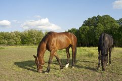 Two horses on the farm grazing Royalty Free Stock Photos