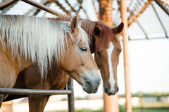 Two horses on a farm Stock Photography