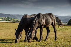 Two horses feeding. Two alike horses eating green during the summer evening Stock Photography