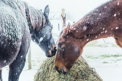 Two Horses feeding on Hay net on frosty winter day with snow Stock Image
