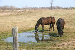 Two horses and field. Two horses drinking water in the field Stock Photography