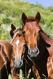 Two horses in the field Royalty Free Stock Photography