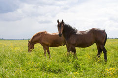 Two horses in a field Royalty Free Stock Photography