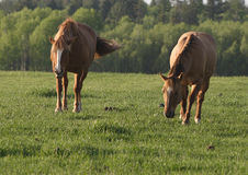 Two horses in a field. Two horses are grazing in a field Stock Images