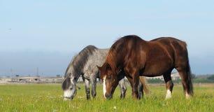 Two horses in field. Dapple-gray mare and cheshnut mare Royalty Free Stock Photos