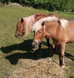 Two horses in a field. Grassing stock images
