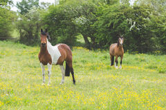 Two horses in a field Stock Photo