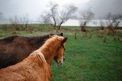 Two horses on the field. Two horses going by the field royalty free stock photo