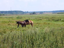 Two horses at the field Stock Photography