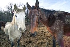 Two horses in a field Stock Images