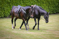 Two horses in the fields Royalty Free Stock Images