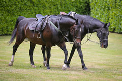 Two horses in the fields Royalty Free Stock Photo