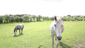 Two horses in the fields of Scotland on summer day, HD footage stock video