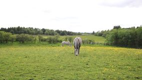 Two horses in the fields of Scotland on summer day, HD footage stock video footage