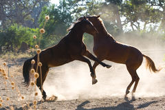 Two horses fighting Stock Image