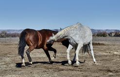 Two Horses Fighting Stock Images