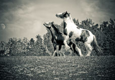 Two horses fighting Stock Photography
