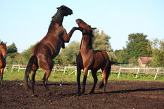 Two horses fighting at the pasture Stock Image