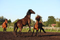 Two horses fighting at the pasture Stock Images