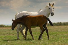 Two horses. Filly and foal, together on a field Stock Image