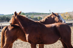 Two horses flirt and play Stock Images