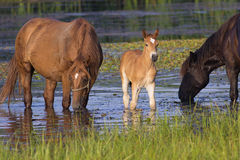 Two horses and foal drinking. Two horses and foal on the watering place drinking stock photography