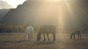 Two horses and foal glow and eat grass at sunset, the sun`s rays. Three horses - red, white and dark - on a very picturesque background. Sunset in the stock video