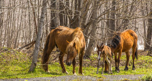 Two horses and foal are grazed in wood Stock Photos
