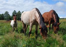 Two horses and the foal. Are grazing on the meadow in the bright, summer day Stock Photo