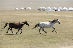 Two horses gallop across the steppe at Song Kul Lake. In Kyrgyzstan Stock Photography