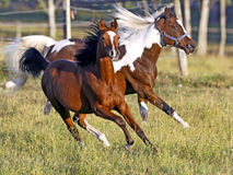 Two Horses galloping. Bay Arabian Colt and Pinto Gelding galloping together in meadow at summer pasture, late afternoon sunlight royalty free stock image